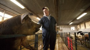 Pig farmer plays live music to animals